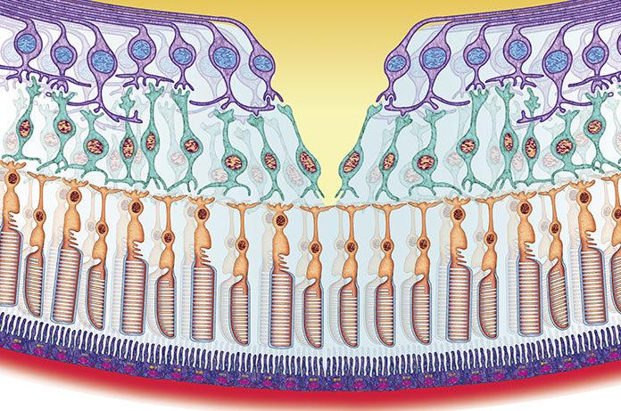 komórki zwojowe siatkówki